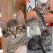 Тима - дымчатый котенок мальчик в хорошие руки
