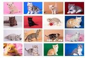 Элитные британские котята с документами. Все окрасы!